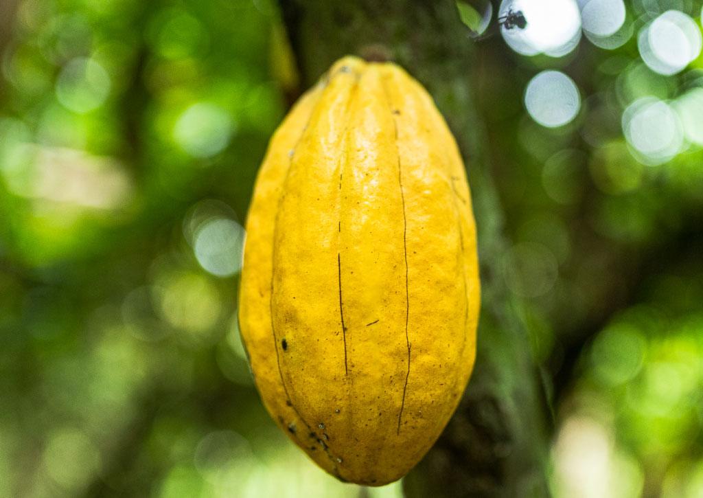 Cacao-ecuador