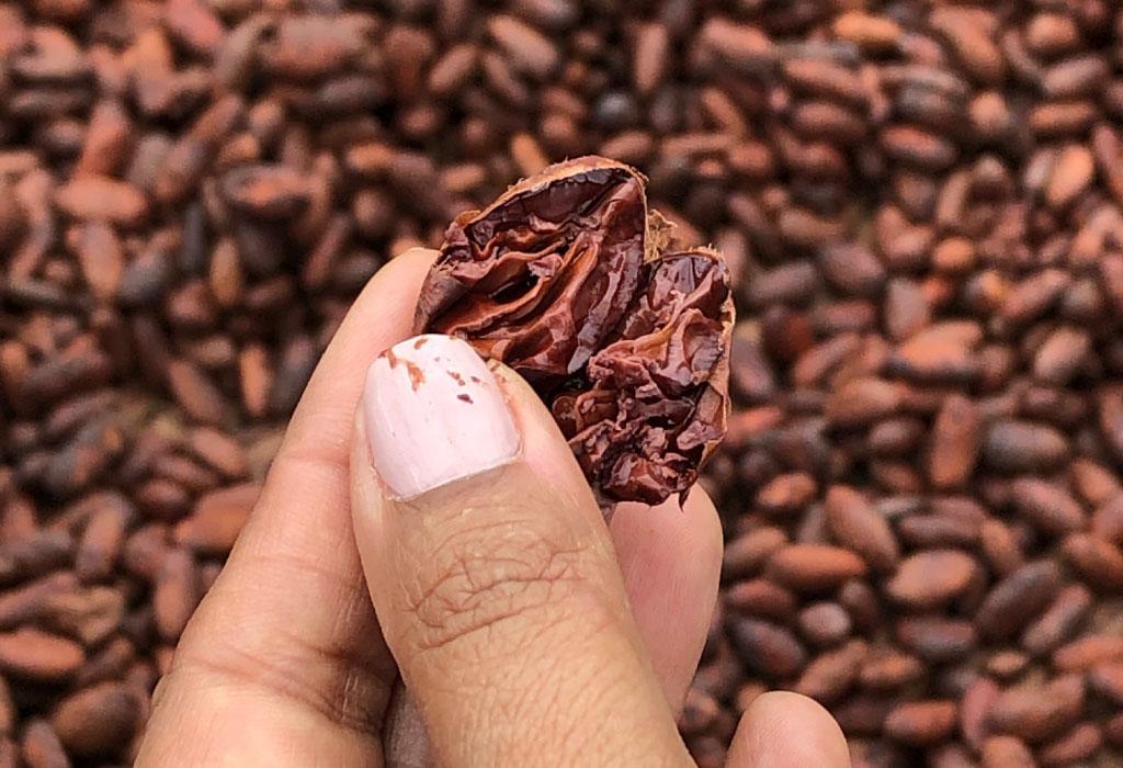 cacao-en-colombia