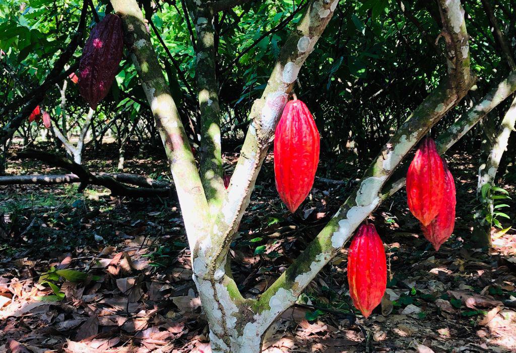 grano-cacao-colombia
